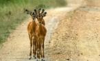 В калужской деревне Животинки девушка-водитель испытала животный страх, сбив на дороге животное