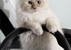 Кошка Шупетт для календаря Opel Corsa, автор Карл Лагерфельд